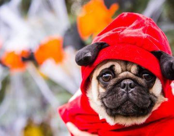 El chocolate, una amenaza para los perros en Navidad