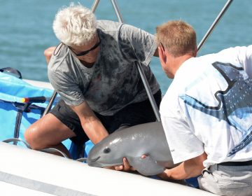 Con muestras de piel y sangre, gobierno mexicano inicia un nuevo intento para salvar a la vaquita marina