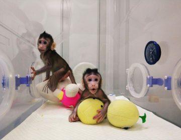 """Conoce a los primeros primates clonados con la técnica de la oveja """"Dolly"""""""
