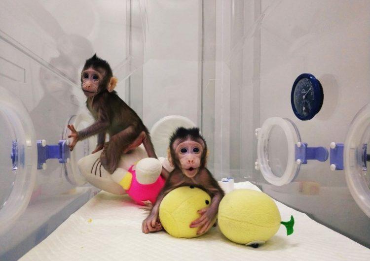 clonación china primates