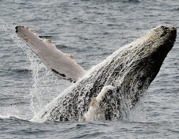 Una ballena gigante salva a buceadora de ataque de tiburón