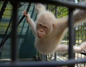 Alba, la orangután albina con un santuario propio para evitar su extinción