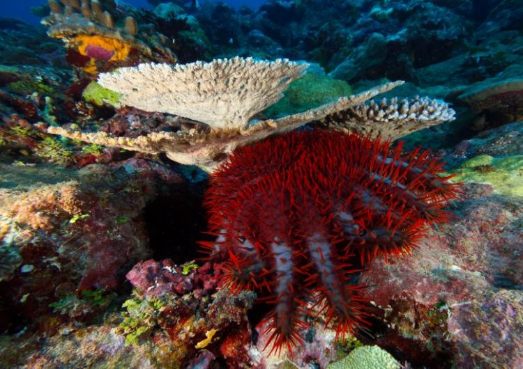 Eliminan estrellas de mar en Australia para salvar la Gran Barrera de Coral