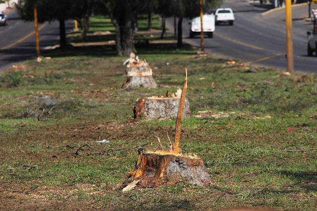 Costó casi 400 mil pesos derribo de árboles