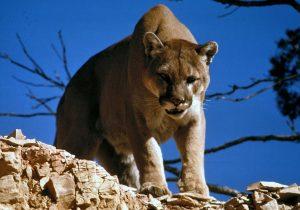 Niega SOP afectación de libramiento a hábitat animal