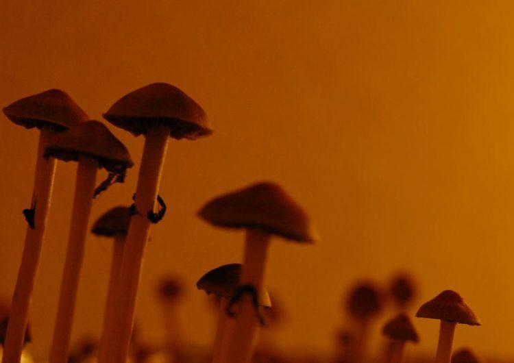 """¿Los hongos """"mágicos"""" podrían hacer un mundo mejor? Estudio afirma que reducen el autoritarismo"""