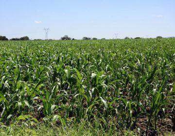 Cubre Aguascalientes 10% de su demanda de maíz