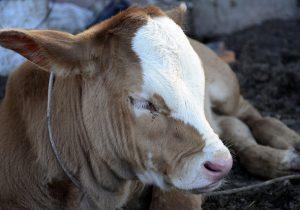 Podrían ganaderos reservar ganado para venta nacional