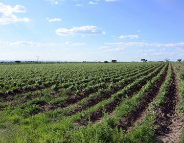 Abandonan 30% de hectáreas del Distrito de Riego 01