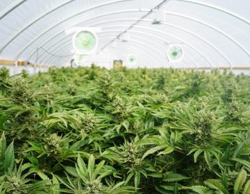 Australia da luz verde a exportaciones de cannabis terapéutico
