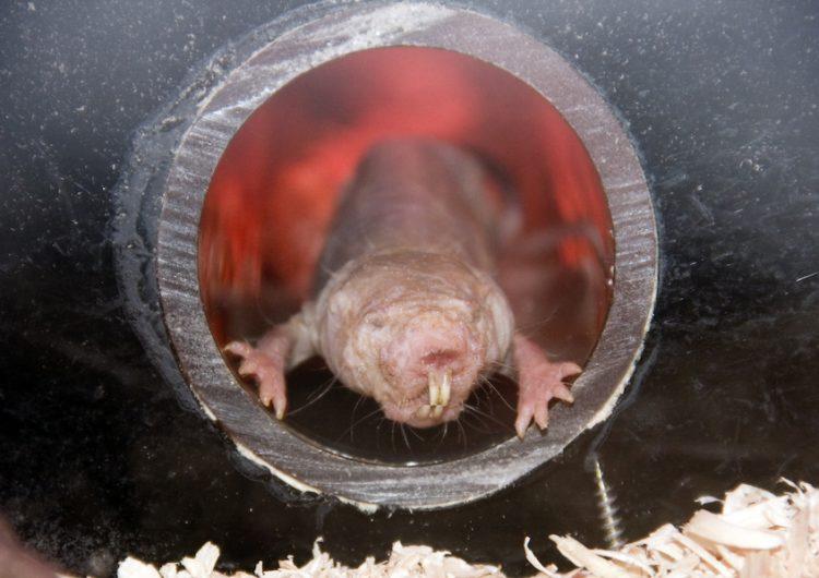 Las ratas topo podrían dar pistas sobre cómo detener el proceso de envejecimiento
