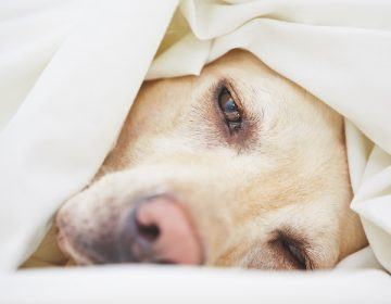 Qué es la gripe canina y cómo puedes proteger a tu perro