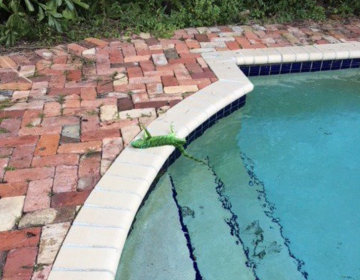 Llueven iguanas congeladas en Florida
