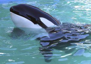 """""""Hola"""" y """"adiós"""": las primeras palabras de Wikie, la orca que aprendió a hablar"""