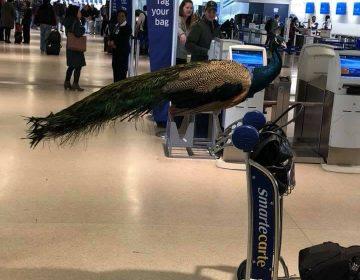 United Airlines niega vuelo a mujer por llevar a un pavo real como animal de apoyo emocional