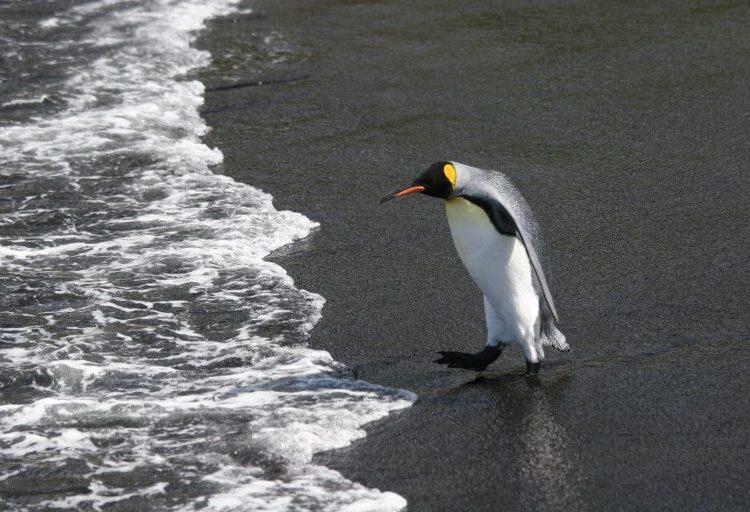 Cambio climático y sobrepesca ponen en peligro la vida de los pingüinos rey