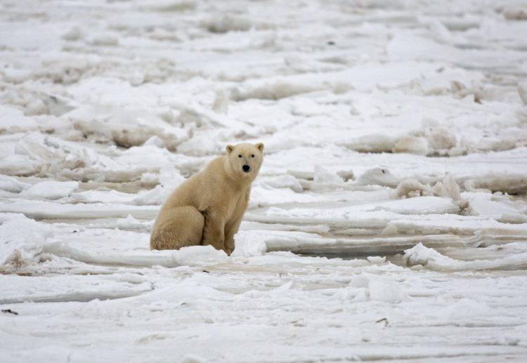Calentamiento global y falta de alimento, ¿condenan a la extinción de los osos polares?