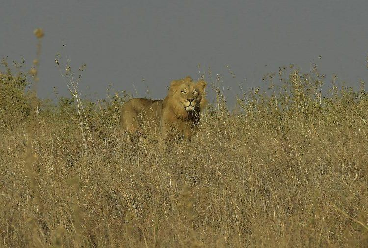 Un grupo de leones mata a un presunto cazador furtivo en Sudáfrica