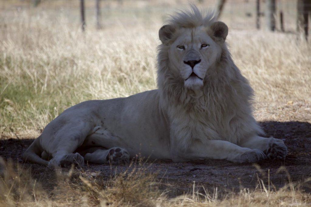 leones sudáfrica cazador