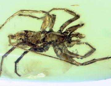 Descubren una criatura mitad araña y mitad escorpión conservada en ámbar
