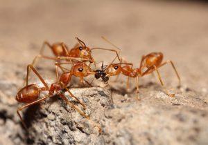 Algunas hormigas trabajan como enfermeras para las guerreras heridas, según estudio