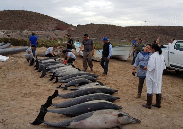 ¿Por qué murieron 21 delfines en Baja California Sur? (VIDEO)