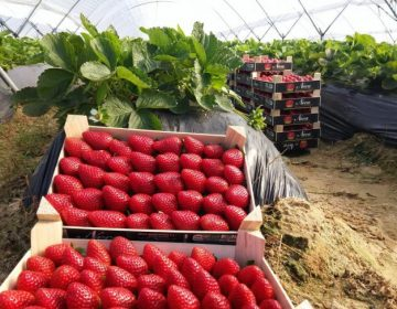 Guanajuato: tercer lugar en producción de fresas a nivel nacional
