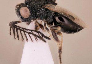 Esta avispa parásita crece dentro del cuerpo de otro animal, su salida provoca gran dolor