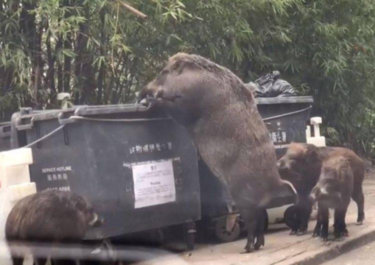 """Pigzilla"", el jabalí gigante que atemorizó a los habitantes de Hong Kong"