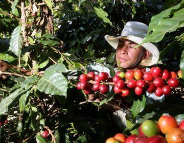 Por hongo, producción de café cae en Hidalgo