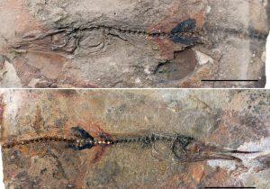 """Un niño encuentra el fósil antiguo de un """"pez lagarto"""" al visitar un monasterio colombiano"""