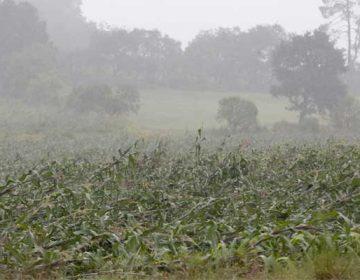 Mal clima en Puebla dañó cultivos de 25 mil has