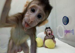 ¿Qué ocurrirá con los famosos monos clonados de China?