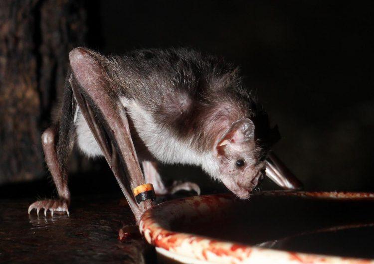 Sus tripas y sus genes, los factores que hacen que los murciélagos coman sangre y no se enfermen
