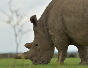Sudán, el último rinoceronte blanco macho murió y sella la extinción de esta subespecie