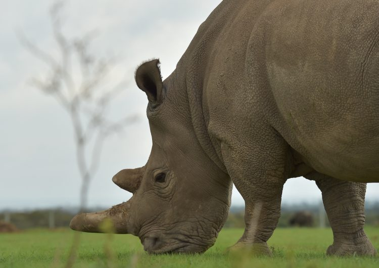 sudán-rinoceronte-blanco-macho-kenia-extinción