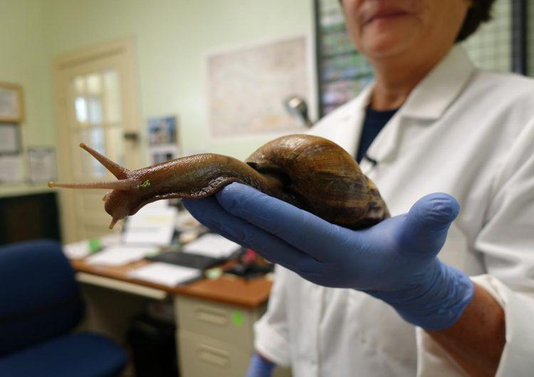 caracoles-gigantes-africanos-invaden-caribe