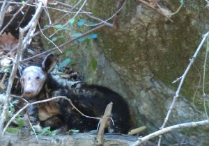 Salvan en parque de NL a oso catalogado como especie en peligro de extinción