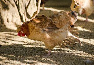 Sin repercusiones serias por gripe aviar en Jalisco