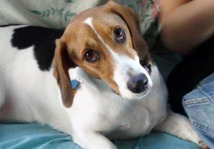 Un arañazo de perro provoca a mujer contagio de rara bacteria y ahora requiere reemplazo de cadera
