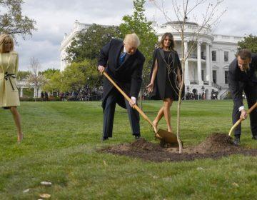 El árbol francés que plantaron Macron y Trump en la Casa Blanca fue puesto en cuarentena