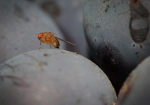 ¿Las moscas eyaculan por placer? La ciencia da una respuesta