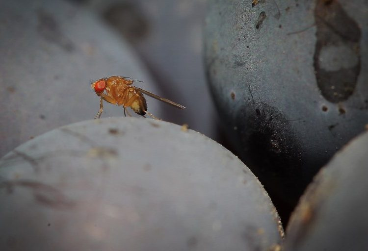 ciencia-moscas-placer-eyaculan