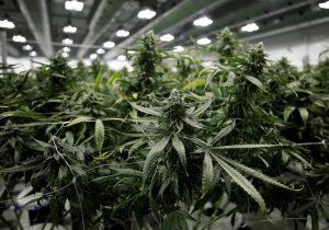 Las personas en estos trabajos son más propensas a fumar marihuana