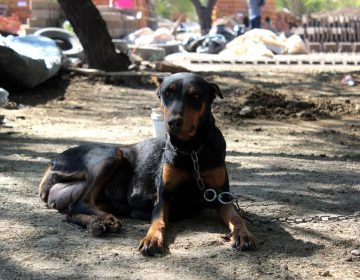 Proponen sentencias de hasta 6 años para sancionar peleas de perros