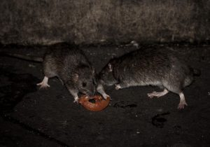 ¿Qué es el hantavirus? Una mujer de Nuevo México murió de una enfermedad misteriosa propagada por ratas