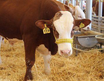 Más de 200 bovinos han sido robados en 2018, asegura UGRA