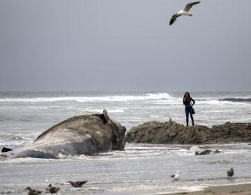 Muere una ballena después de tragarse 80 bolsas de plástico en Tailandia