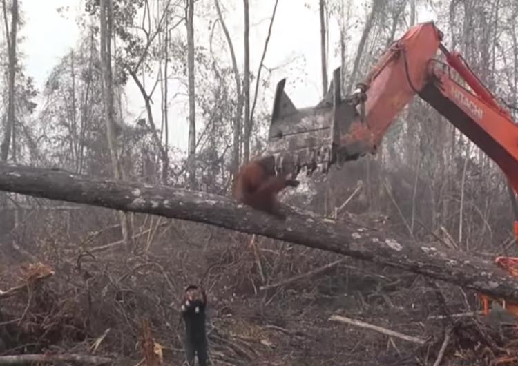 Orangután pelea con una excavadora que tala los árboles de su hábitat en Indonesia