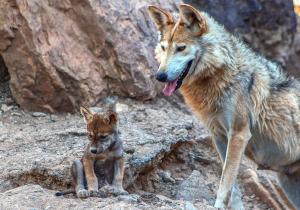 Larga vida al lobo gris mexicano